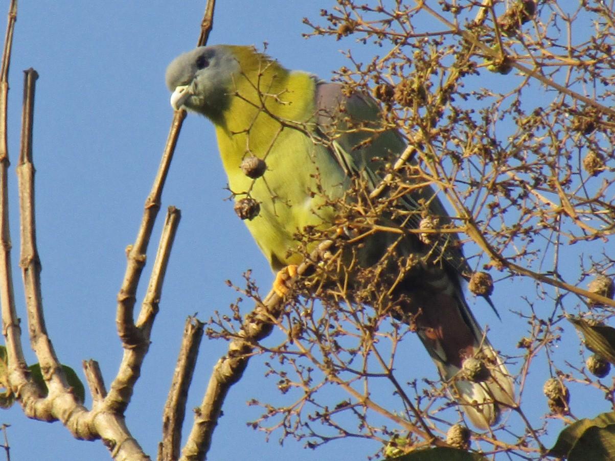 Yellow-footed Green-Pigeon - Raju Kidoor