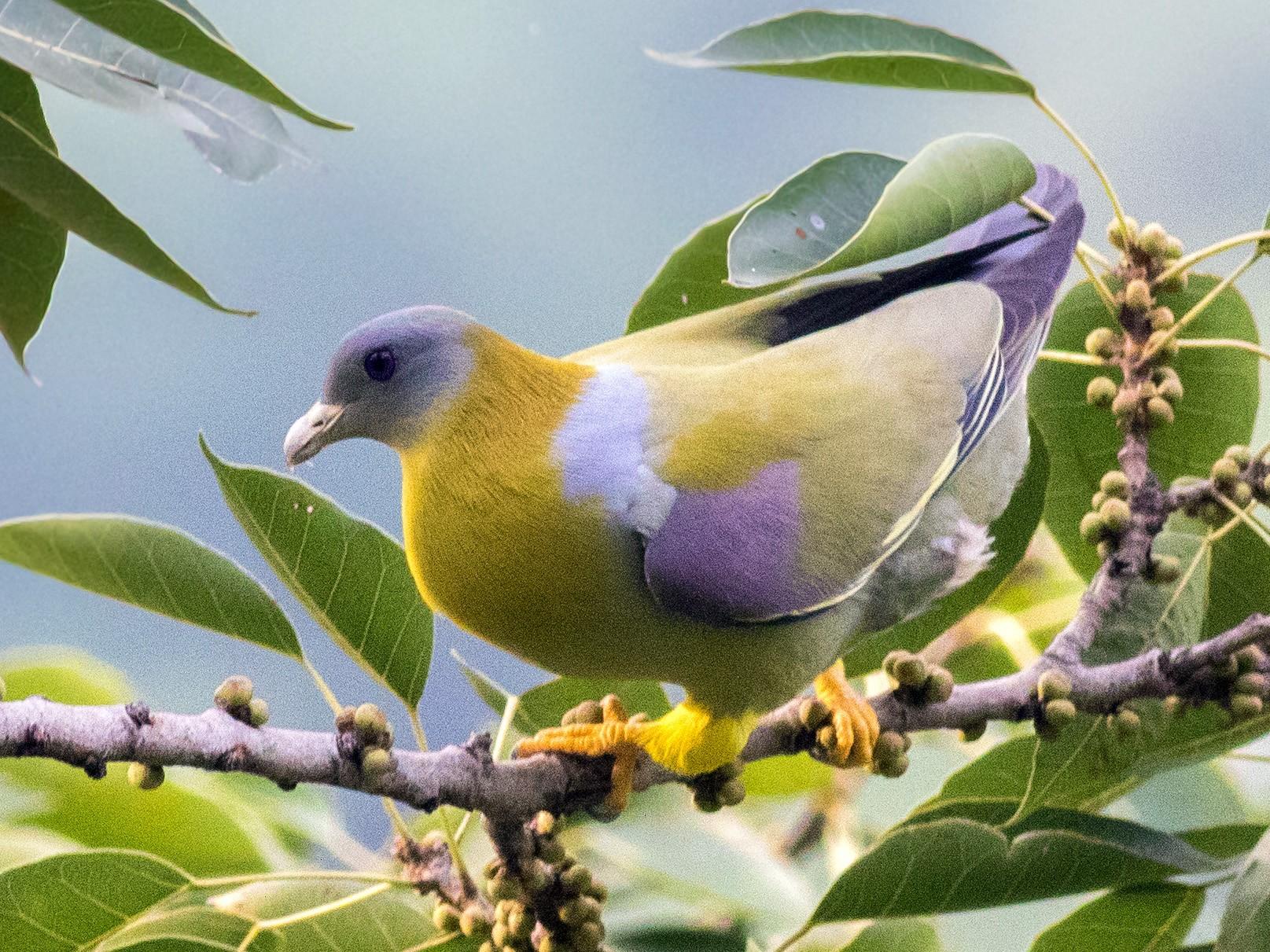 Yellow-footed Green-Pigeon - abhishek ravindra