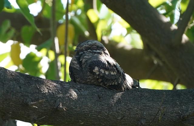 Square-tailed Nightjar