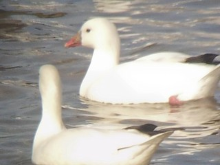 Ross's Goose, ML134139871