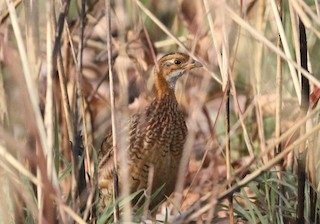 White-throated Francolin, ML134161031