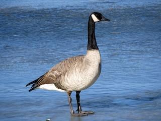 Canada Goose, ML134220851