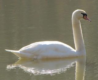 Mute Swan, ML134316271