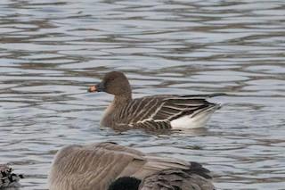 Tundra Bean-Goose, ML134339311