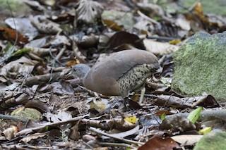 Brown Tinamou, ML134378821