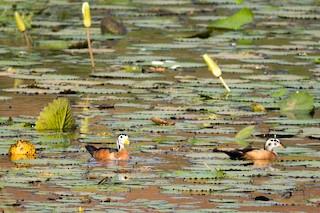 African Pygmy-Goose