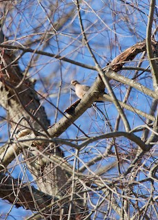 Mourning Dove, ML134778491