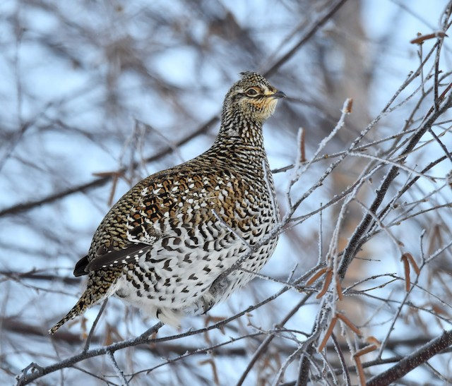 Sharp-tailed Grouse