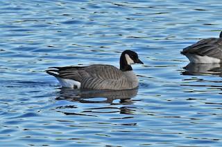 Cackling Goose, ML134934741