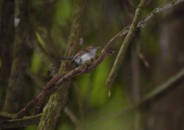 Long-billed Gnatwren (presumed subspecies <em>albiventris</em>).