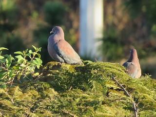 Red-billed Pigeon, ML135164721