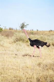 Common Ostrich, ML135173321