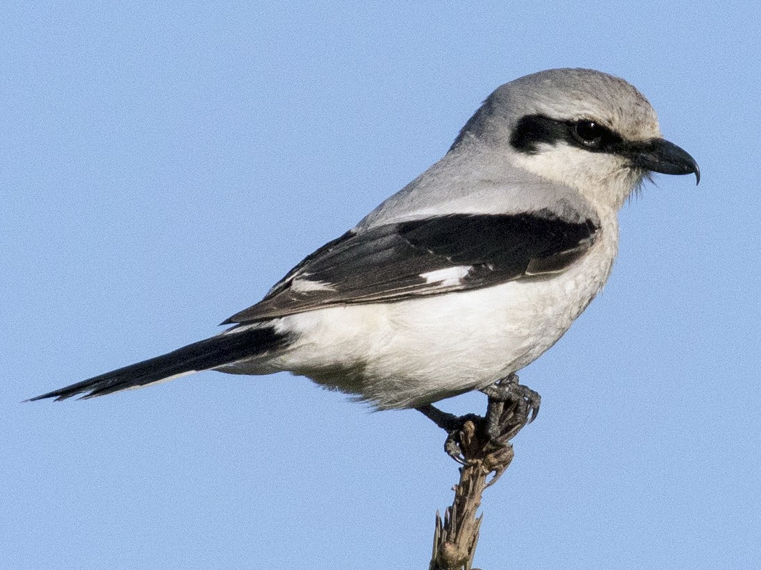 Northern Shrike - Bob Martinka