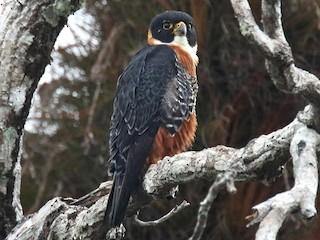 - Orange-breasted Falcon