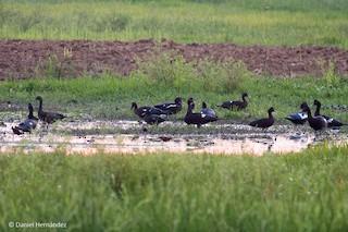 Muscovy Duck, ML135334781