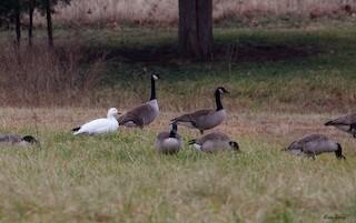 Snow Goose, ML135437821