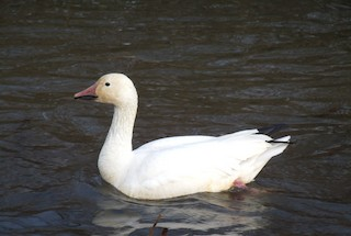 Snow Goose, ML135469161