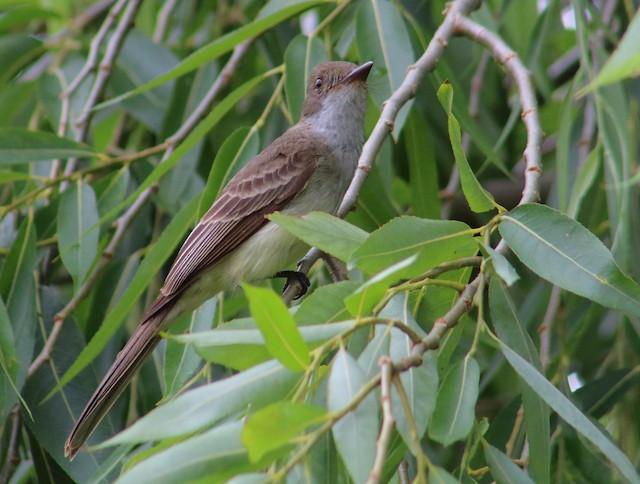 Swainson's Flycatcher