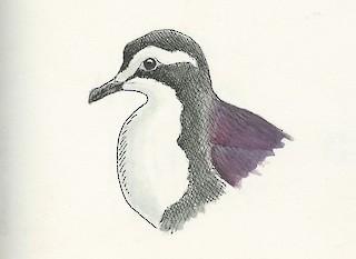 - White-bibbed Ground Dove