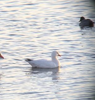 Ross's Goose, ML135881311