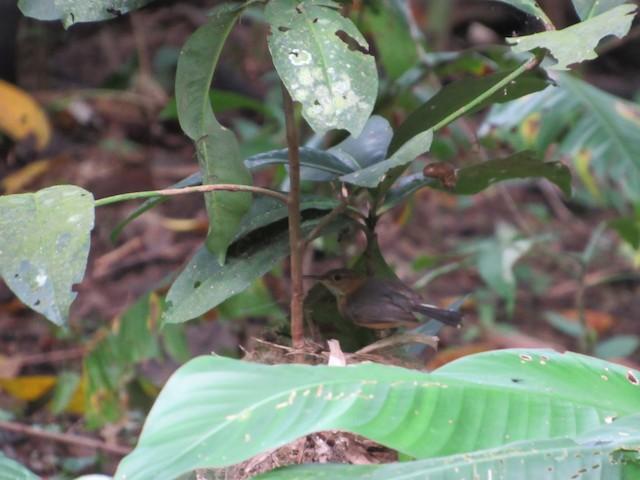 Long-billed Gnatwren on nest.
