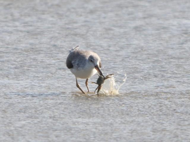 Processing a crab.