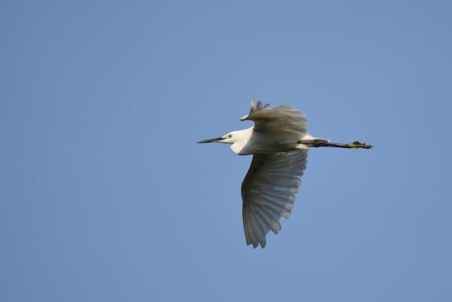Little Egret (Western)