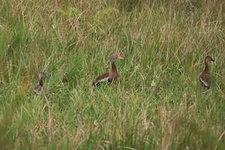 Black-bellied Whistling-Duck, ML136288091
