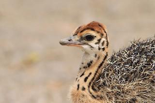 Common Ostrich, ML136327781