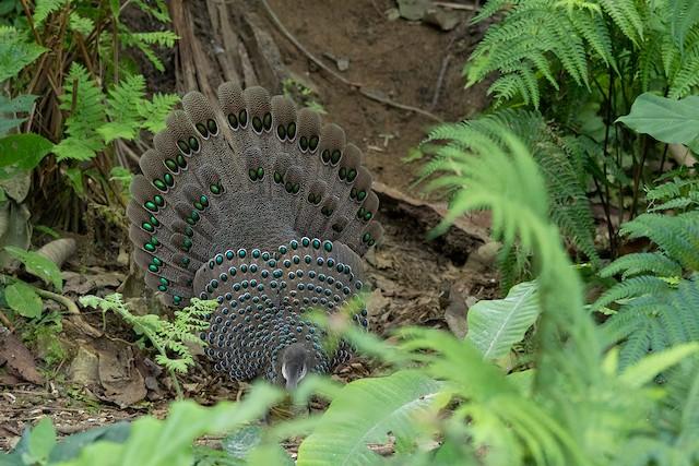Gray Peacock-Pheasant