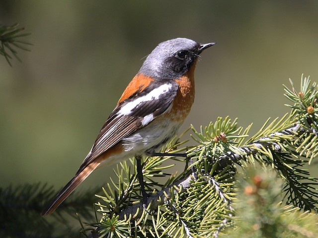 Rufous-backed Redstart ML136484511