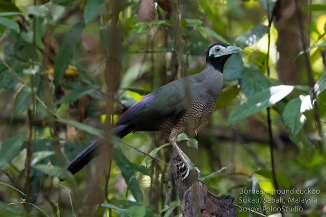 Bornean Ground-Cuckoo