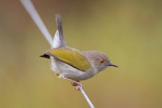 - Green-backed Camaroptera (Gray-backed)