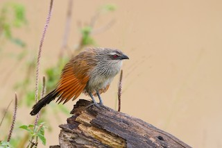 - White-browed Coucal