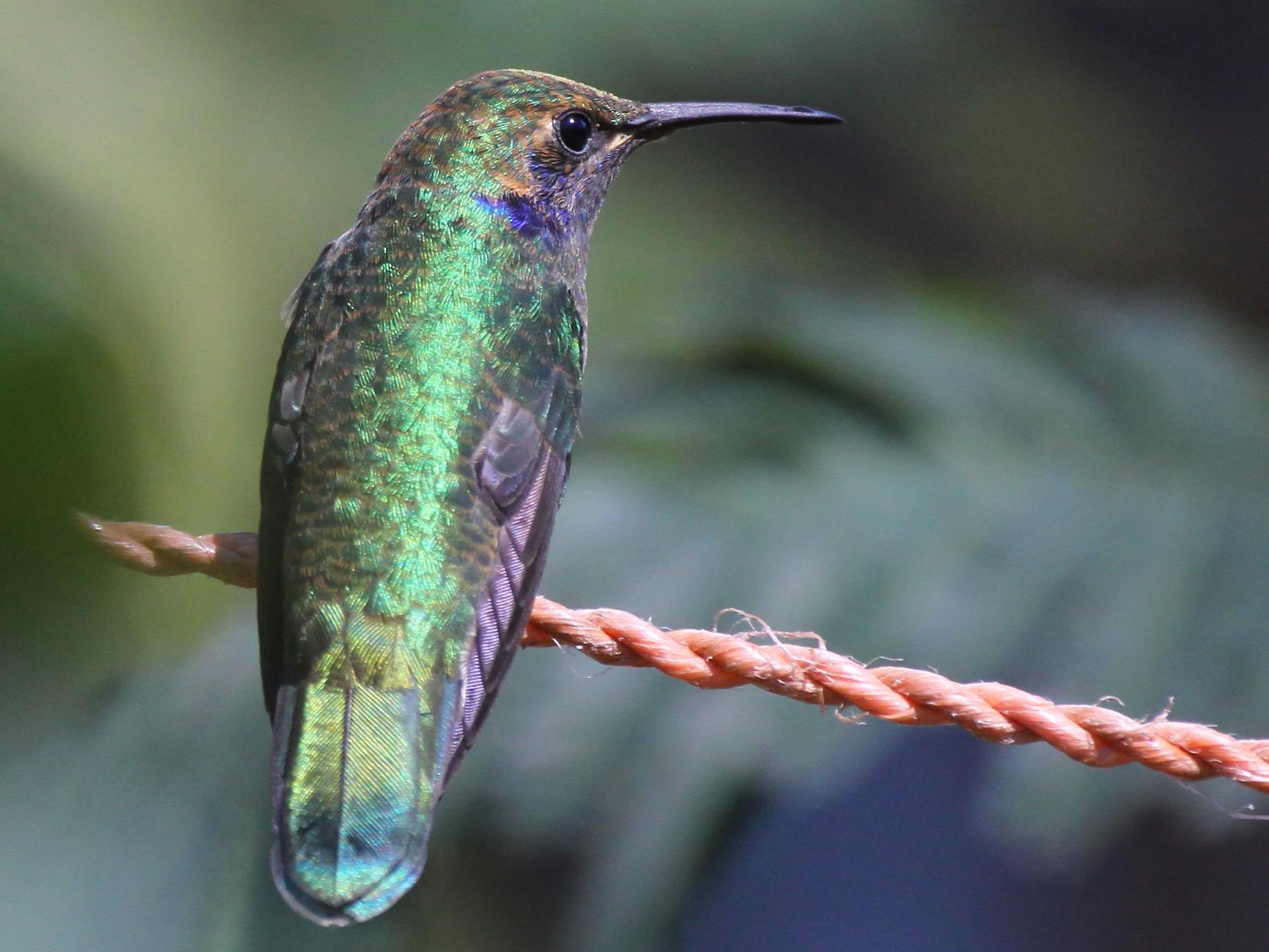 Mexican Violetear - Karla Lara
