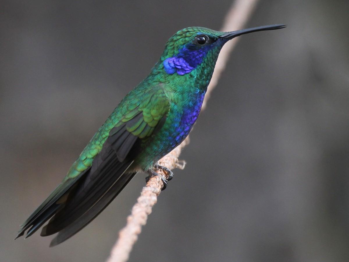 Mexican Violetear