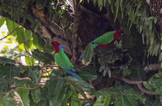 Crimson Shining-Parrot