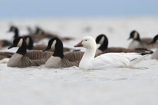 Snow Goose, ML136876801