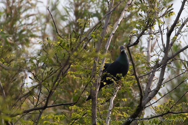Japanese Wood-Pigeon