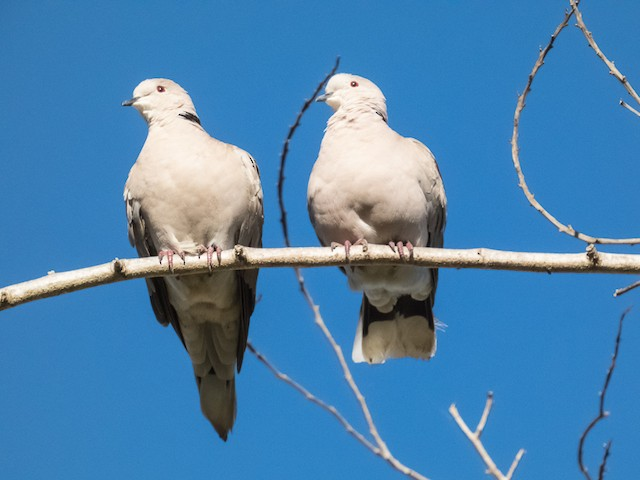 Eurasian Collared-Dove (Eurasian)