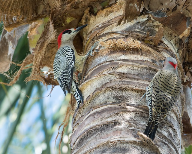 Male West Indian Woodpecker (left) with male Northern Flicker (right).