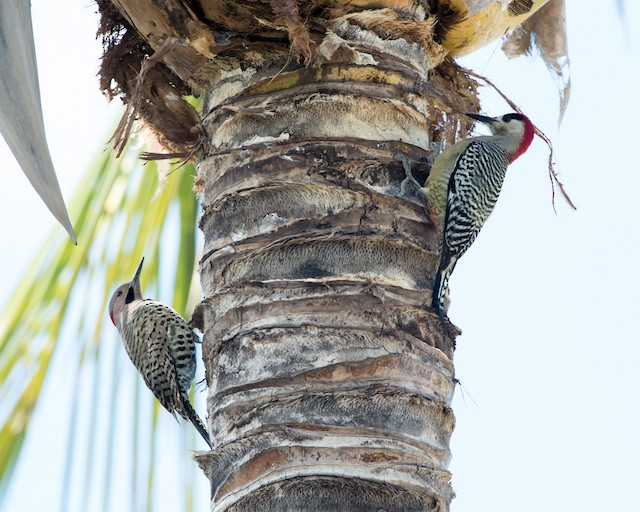 Male West Indian Woodpecker (upper right) with male Northern Flicker (lower left).