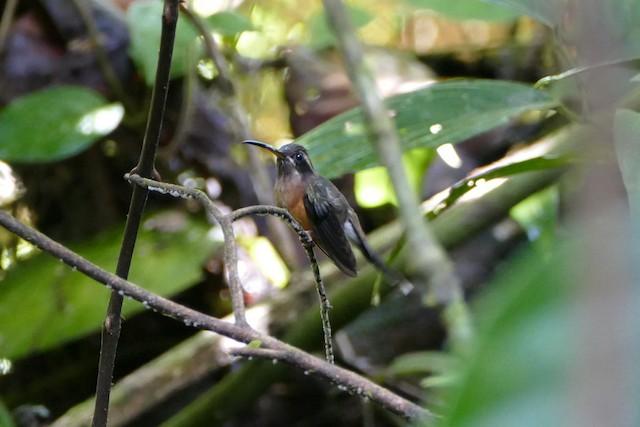 Black-throated Hermit