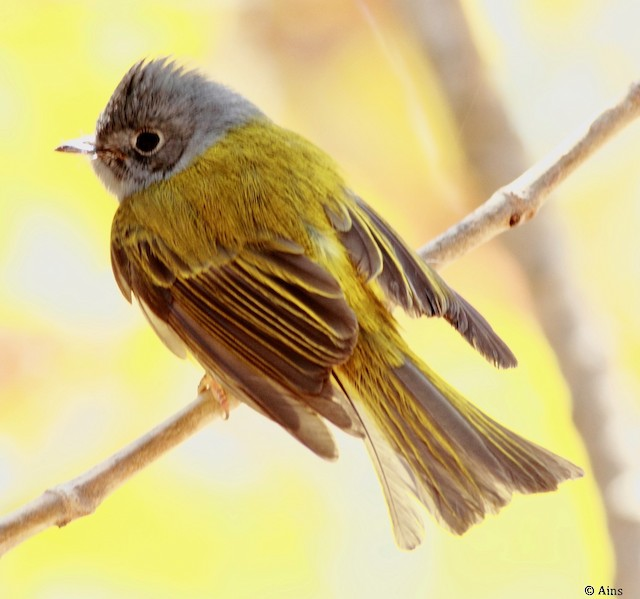 Gray-headed Canary-Flycatcher