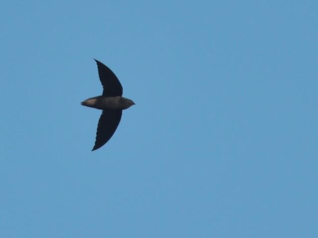 Short-tailed Swift