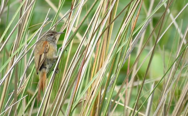 Sulphur-bearded Reedhaunter