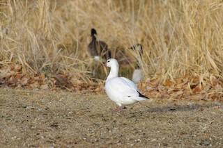 Ross's Goose, ML137912771