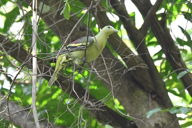 Andaman Green-Pigeon