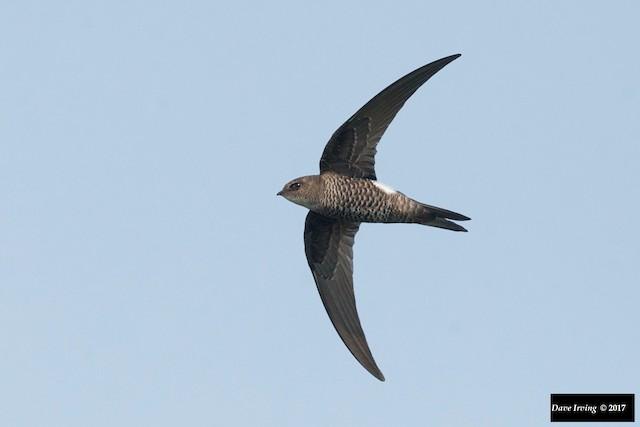 Pacific Swift
