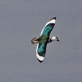 Cotton Pygmy-Goose, ML138129001